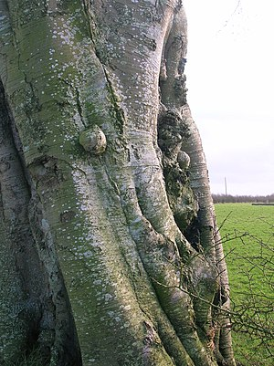 Beech tree with burrs and canker, Ayrshire, Sc...