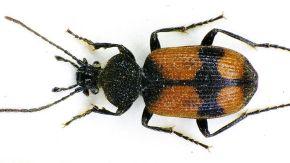 Schwarzenegger Beetle
