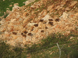 A colony of rock hyrax Procavia capensis