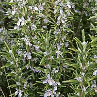 Rosemary A Cure For Memory Loss