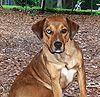 Catahoula Bulldog red tan.jpg