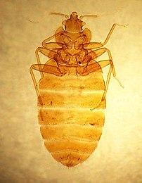 Cimex lectularius, the common bedbug, from sli...