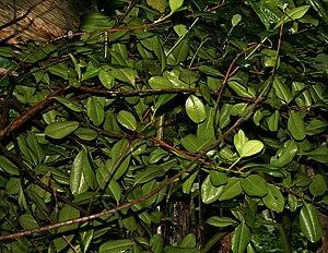 English: Pimenta dioica- Allspice, Jamaica pep...