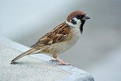 250px-Tree_Sparrow_August_2007_Osaka_Japan.jpg
