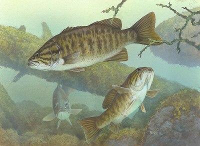 Smallmouth bass - Simple English Wikipedia, the free encyclopedia