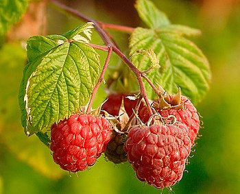 English: Raspberries (Rubus Idaeus). Français ...