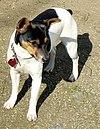 Rat Terrier Ruby.jpg