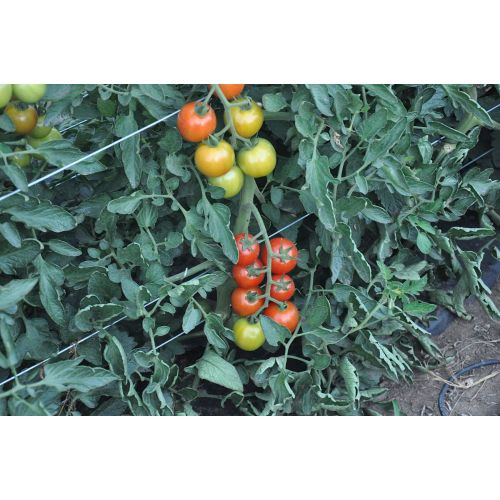 Medium Crop Of Sweet 100 Tomato