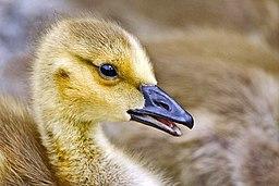 Canada goose gosling - natures pics