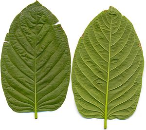 English: Kratom leafes, front and back side. M...