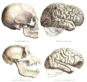 English: Human and chimpanzee skull and brain