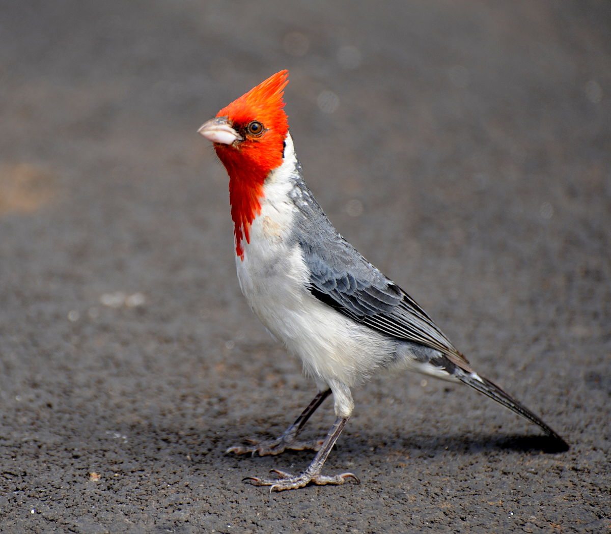 Red crested cardinal   Wikipedia