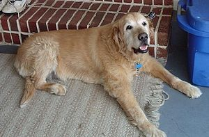 A 15 year old Golden Retriever dog, unusually ...