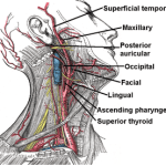 Branches of external carotid artery.