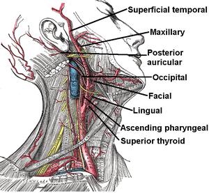 The External carotid artery arises in the caro...