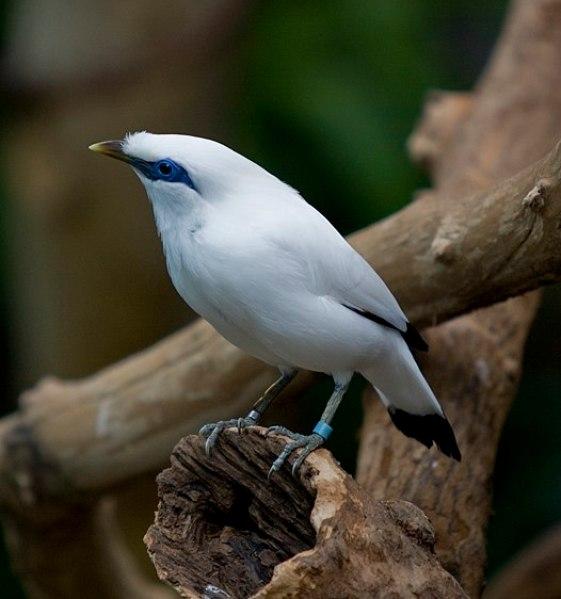 Klasifikasi Burung Jalak Bali