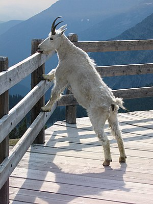 Rocky Mountain Goat (Oreamnos americanus) enjo...