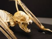 Vampire bat (Desmodus rotundus) skeleton, moun...