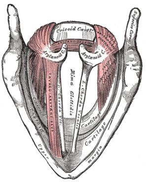 Larynx, superior view (bottom = anterior)