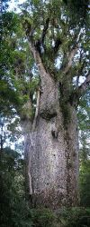 The kauri is the largest New Zealand tree, gro...