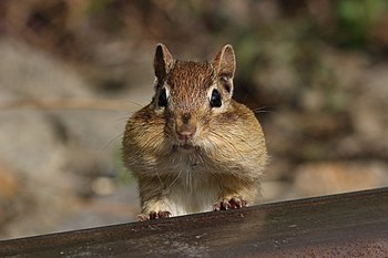 Eastern Chipmunk with cheeks filled of food su...
