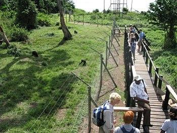 English: Ngamba Island Chimpanzee Sanctuary, l...