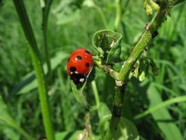 English: A ladybug, (Coccinella sp., probably ...