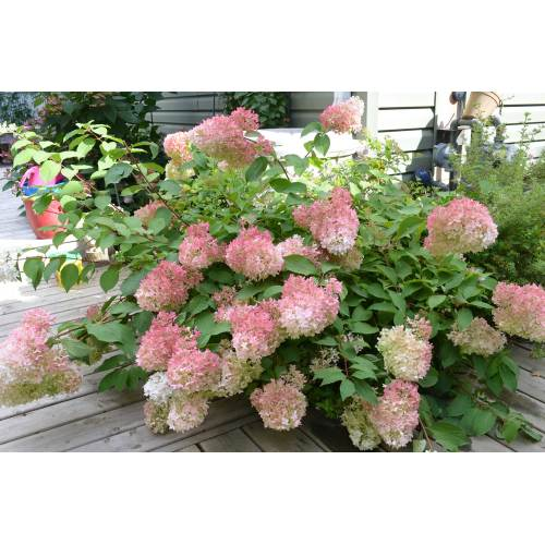 Medium Crop Of Hydrangea Pinky Winky