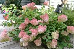 Small Of Hydrangea Pinky Winky