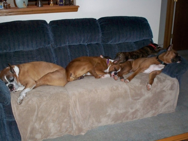 Large Of Do Boxers Shed