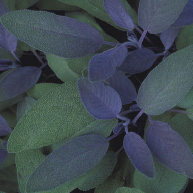 how to grow sage indoors