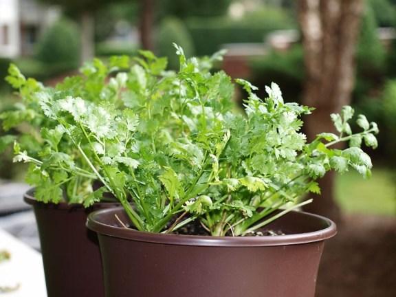 cilantro-plant