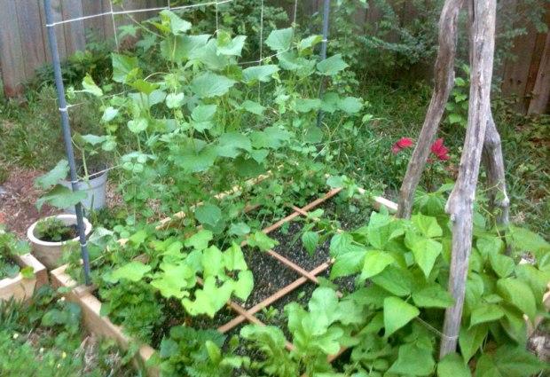 green-beans-growing