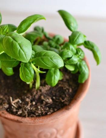 9-Herbs-That-Regrow-350x458