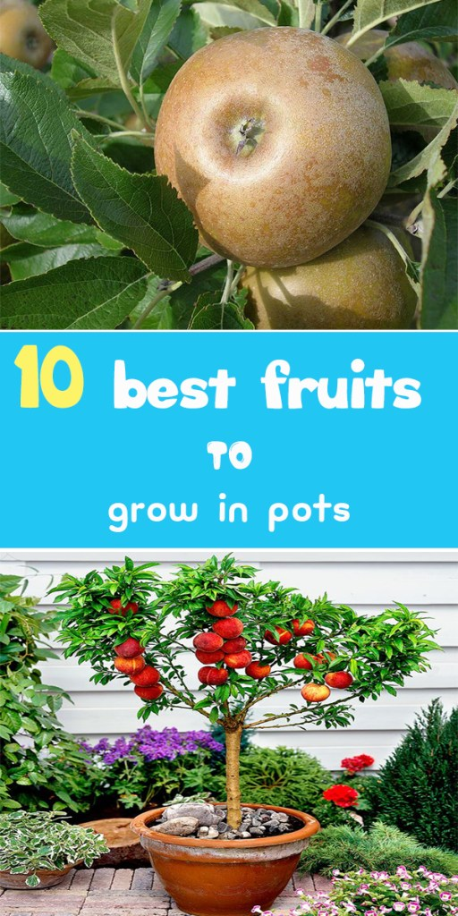 best-fruits-to-grow-in-pots-2