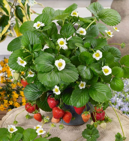 how-to-grow-your-own-strawberries