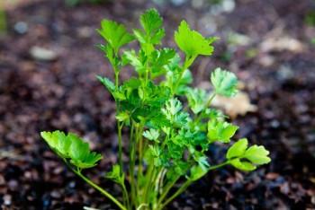 medicinal-plants-to-grow-at-home5-350x234