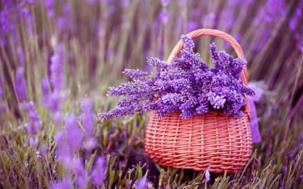 lavender-plant-landscaping-wallpaper-1