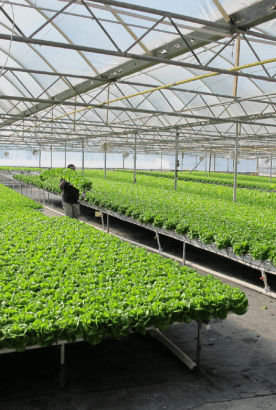 American-hydroponics-lettuce-substrates