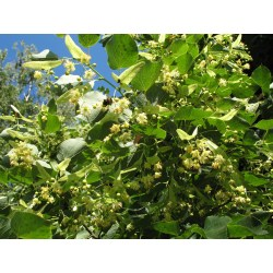Small Crop Of Linden Tree Smell