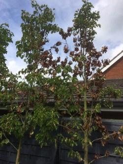 Small Of Ornamental Pear Tree