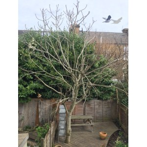 Garage Summer Any Advice Would Be Gratefully Received Image Advice On Pruning A Large Fig Tree Forum How To Prune A Fig Tree Plant How To Prune A Fig Tree