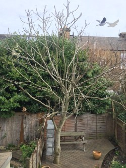 Small Of How To Prune A Fig Tree