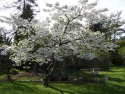 Small Of Stella Cherry Tree