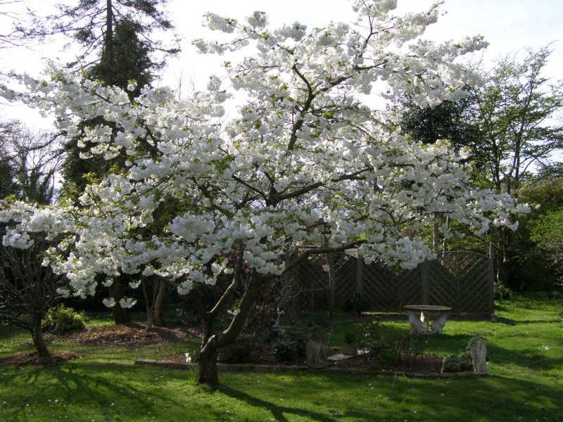 Large Of Stella Cherry Tree