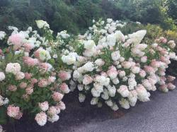 Small Of Strawberry Vanilla Hydrangea