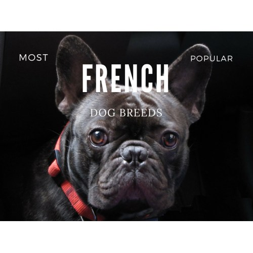 Medium Crop Of French Dog Breeds