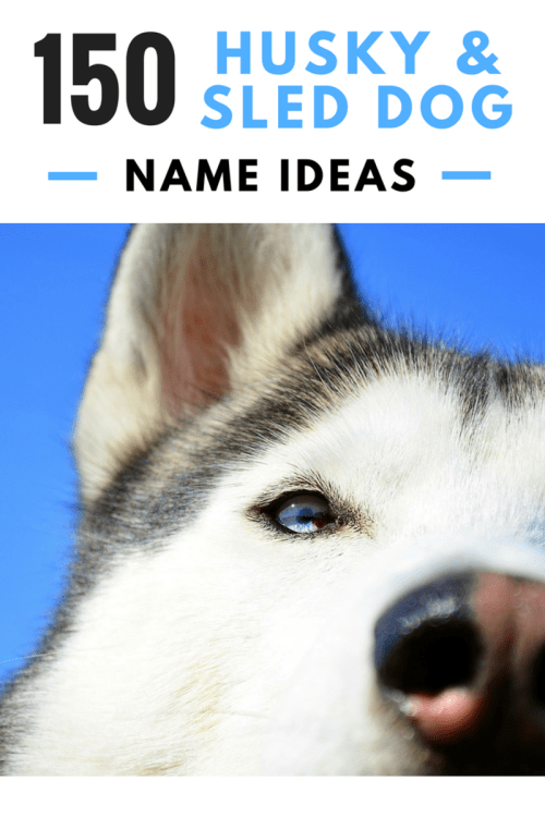 Medium Of Siberian Husky Names