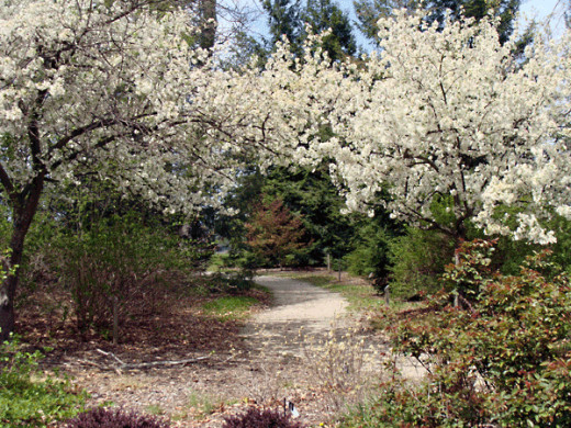 The effect of blooming crabapples is breathtaking.