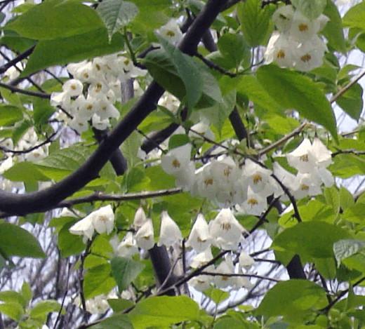 An unusual flowering tree